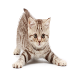 Real Cat Sounds APK icon