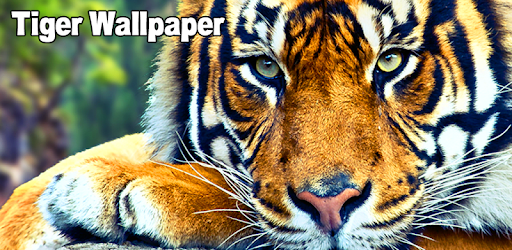 Tiger Wallpaper Apk Download For Android Latest Version For Free