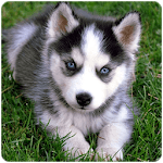 Husky puppies Wallpapers APK icon