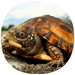How to Take Care of a Pet Turtle APK icon