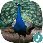 Appp io - Peacock Sounds APK : Download v1 0 2 for Android